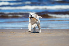 Adorable golden retriever puppy on a beach Royalty Free Stock Photo