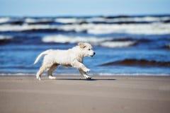 Adorable golden retriever puppy on a beach. Adorable golden retriever puppy running on a beach Royalty Free Stock Photo
