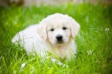 Adorable golden retriever puppy Royalty Free Stock Photos