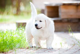 Adorable golden retriever puppy Royalty Free Stock Image