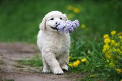 Adorable golden retriever puppy outdoors in summer Royalty Free Stock Photo
