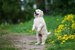 Adorable golden retriever puppy outdoors in summer Royalty Free Stock Image
