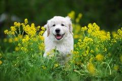 Adorable golden retriever puppy outdoors in summer stock photo