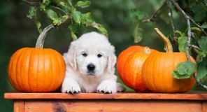 Adorable golden retriever puppy posing with pumpkins Royalty Free Stock Images