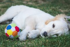 Adorable golden retriever puppy rest near a colorful ball stock image