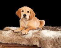 Adorable Golden Retriever Puppy on Trunk Royalty Free Stock Images