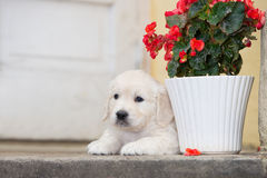adorable golden retriever puppy Stock Photos