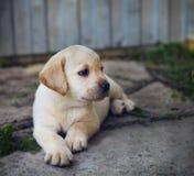 Adorable golden retriever puppy in the yard Royalty Free Stock Photos