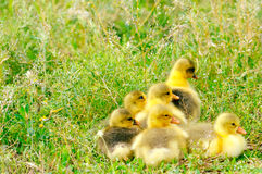 Adorable goose babies Stock Images