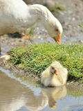 Adorable goose baby Stock Images