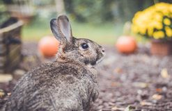 Adorable gray and brown domestic bunny rabbit in garden , vintage setting. Adorable gray and brown domestic bunny rabbit in an autumn garden with mums and stock photos