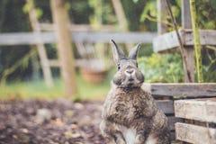 Adorable gray and brown domestic bunny rabbit in garden , vintage setting. Adorable gray and brown domestic bunny rabbit in an autumn garden with mums and stock image