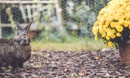 Adorable gray and brown domestic bunny rabbit in garden , vintage setting. Adorable gray and brown domestic bunny rabbit in an autumn garden with mums and royalty free stock photos