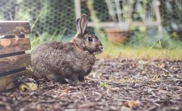 Adorable gray and brown domestic bunny rabbit in garden , vintage setting. Adorable gray and brown domestic bunny rabbit in an autumn garden with mums and royalty free stock photography