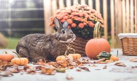 Adorable gray and brown domestic bunny rabbit in garden , vintage setting. Adorable gray and brown domestic bunny rabbit in an autumn garden with mums and royalty free stock image