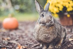 Adorable gray and brown domestic bunny rabbit in garden , vintage setting. Adorable gray and brown domestic bunny rabbit in an autumn garden with mums and royalty free stock photo