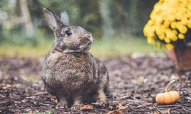 Adorable gray and brown domestic bunny rabbit in garden , vintage setting. Adorable gray and brown domestic bunny rabbit in an autumn garden with mums and stock photography