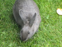Gray bunny rabbit on grass. Adorable gray bunny rabbit on green grass Royalty Free Stock Images
