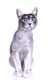 Adorable gray cat with great eyes Royalty Free Stock Image