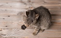 Adorable gray cat lave on a wooden. Background Stock Images