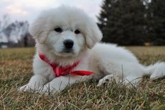 Adorable Great Pyrenees Puppy in Red Bandana. Adorable Great Pyrenees puppy wearing red bandana stock photos