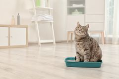 Adorable grey cat in litter box indoors. Pet care stock photo