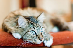 Adorable Grey cat Stock Images