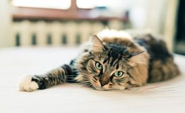 Adorable Grey cat Stock Photo