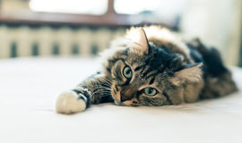 Adorable Grey cat Royalty Free Stock Photography