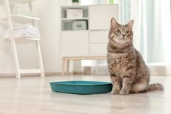 Adorable grey cat near litter box indoors. Pet care stock photos
