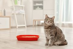 Adorable grey cat near litter box indoors. Pet care stock photos