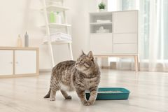 Adorable grey cat near litter box indoors stock images