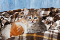Adorable grey kitten at plaid blanket Stock Image