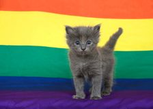 Adorable grey kitten standing on gay pride flag