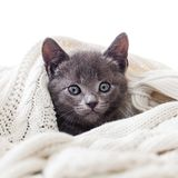 Cute kitten hiding in a knitted blanket. Adorable grey kitten wrapped in a white knitted blanket looking out Royalty Free Stock Photography