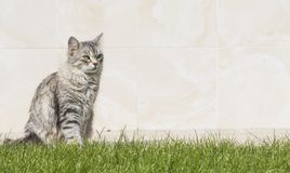 Grey silver kitten in the garden Royalty Free Stock Photo