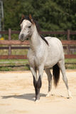 Adorable grey welsh mountain pony Stock Photography