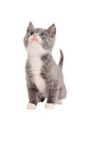 Adorable grey and white kitten looking up Stock Image