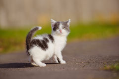 Adorable grey and white kitten outdoors Stock Photography