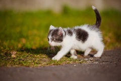 Adorable grey and white kitten outdoors Stock Photos