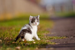 Adorable grey and white kitten outdoors Stock Images
