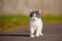 Adorable grey and white kitten outdoors Royalty Free Stock Images