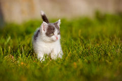 Adorable grey and white kitten outdoors Stock Image