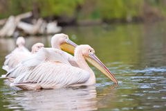 Adorable group of pink pelicans Stock Image