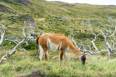 Adorable guanaco wild nature animal with green yellow grass, south Patagonia, Chile and Argentina, most iconic beautiful tourism. Place stock photography