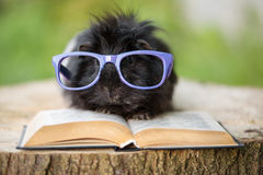 Adorable guinea pig in glasses with a book Stock Images