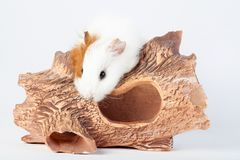 Adorable guinea pig isolated on wooden tunnels on white background. toys for rodents. Adorable guinea pig on wooden tunnels isolated on white background. toys royalty free stock photography
