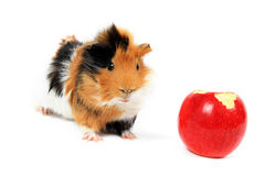 Adorable guinea pig pet with apple Stock Image