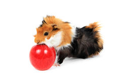 Adorable guinea pig pet with apple on white Stock Photo