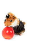 Adorable guinea pig pet with apple on white Royalty Free Stock Image